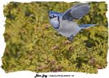 20140116 172 Blue Jay.jpg