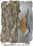 20131227 011 Red-breasted Nuthatch.jpg