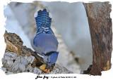 20140116 004 SERIES -  Blue Jay.jpg