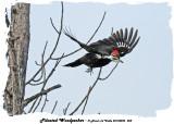 20140225 058 SERIES - Pileated Woodpecker.jpg