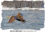 20140307 011 20140306 020 American Black Duck.jpg