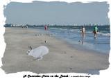 A Snowshoe Hare on the Beach.jpg