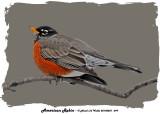 20140227 099 American Robin 1r3.jpg