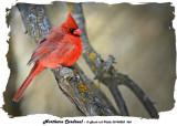 20140228 368 Northern Cardinal.jpg