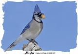 20140228 227 Blue Jay.jpg