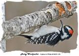 20140312 076 Hairy Woodpecker.jpg