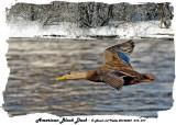 20140307 016, 017 American Black Duck 1r1.jpg
