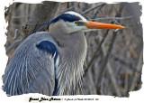 20140414 160 Great Blue Heron 1r1.jpg