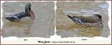 20140405 346 330 Wood Duck.jpg