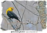 20140419 065 Yellow-headed Blackbird.jpg