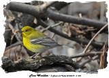 20140419 - 2 095 Pine Warbler.jpg