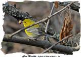 20140419 - 2 120 Pine Warbler.jpg