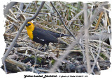 20140419 010 Yellow-headed Blackbird 1r1.jpg
