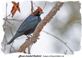 20140416 065 Brown-headed Cowbird.jpg
