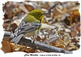 20140424 104 Pine Warbler 1r1.jpg
