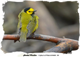 20140430 188 Hooded Warbler rawc.jpg