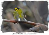 20140430 062 SERIES - Hooded Warbler.jpg