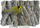 20140430 030 Hooded Warbler.jpg