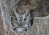 20140510 590 Screech Owl.jpg