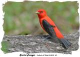 20140510 431 Scarlet Tanager rawc.jpg