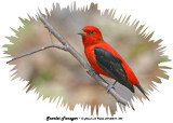 20140510 453 Scarlet Tanager.jpg