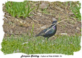 20140508 136 European Starling 1r1.jpg