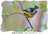 20140514 019 Magnolia Warbler.jpg