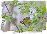 20140514 008 Magnolia Warbler rawc.jpg