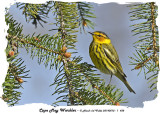 20140512 - 1 438 Cape May Warbler.jpg