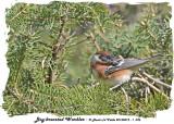 20140512 - 1 036 Bay-breasted Warbler.jpg