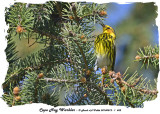 20140512 - 1 452 SERIES -  Cape May Warbler.jpg