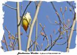20140508 003 Blackburnian Warbler.jpg