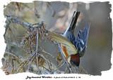 20140512 - 2 193 Bay-breasted Warbler rawc.jpg
