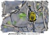 20140507 018 Black-throated Green Warbler rawc.jpg
