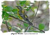 20140519 242 SERIES - Magnolia Warbler rawc.jpg