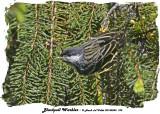 20140520 105 Blackpoll Warbler.jpg