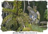 20140519 320  SERIES - Tennessee Warbler.jpg
