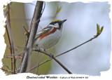 20140514 033 Chestnut-sided Warbler.jpg