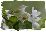 20140523 238 Tennessee Warbler.jpg