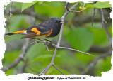 20140525 004 SERIES - American Redstart .jpg