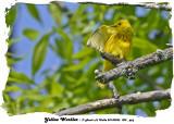 20140526 005, 013 SERIES - Yellow Warbler 1r1.jpg