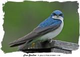 20140528 - 2 055 Tree Swallow rawc.jpg