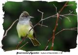 20140528 - 2 124 SERIES - Great-crested Flycatcher.jpg