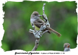 20140528 - 2 195 SERIES -  Great-crested Flycatchers.jpg