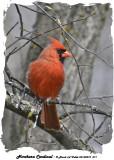 20140510 071 Northern Cardinal.jpg