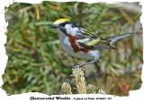 20140531 597 Chestnut-sided Warbler.jpg