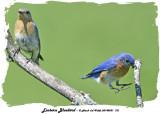 20140531 721 Eastern Bluebird.jpg