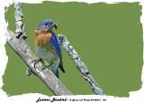 20140531 743 Eastern Bluebird 1r1.jpg