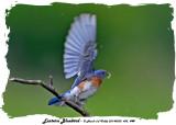 20140530 455, 448 Eastern Bluebird.jpg