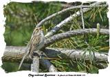 20140602 211 Clay-colored Sparrow.jpg